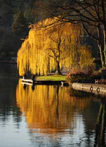 Willow tree photo